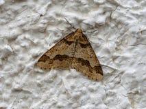 呈杂色的焦茶色的Erannis defoliaria 晚秋天飞蛾 库存照片