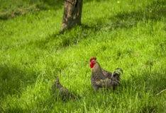 呈杂色的雄鸡在绿色草甸 免版税图库摄影