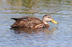 呈杂色的鸭子在佛罗里达沼泽地 免版税库存图片