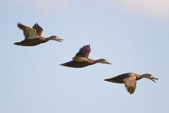 呈杂色的鸭子(语录fulvigula) 免版税图库摄影