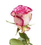 呈杂色的绿色和洋红色玫瑰 图库摄影