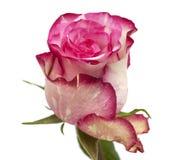 呈杂色的绿色和洋红色玫瑰 库存照片