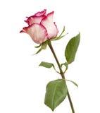 呈杂色的绿色和洋红色玫瑰 库存图片