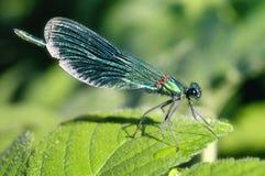 呈虹彩的蜻蜓 免版税库存照片