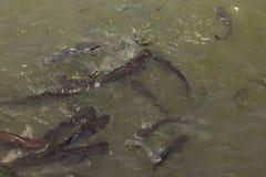 呈虹彩鲨鱼在许多河 库存照片