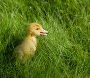 告诉小的黄色的鸭子他的母亲 库存照片