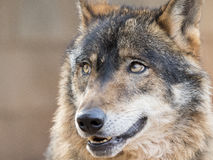 周道的利比亚狼 免版税库存图片