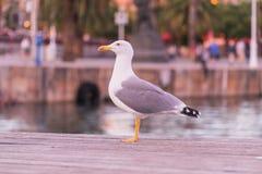 周道的海鸥在巴塞罗那和等待小的面包片江边站立从游人的 免版税图库摄影