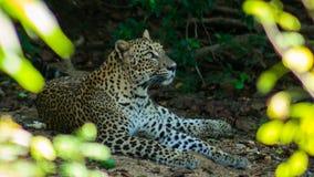 周道的豹子 免版税库存图片