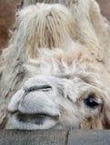 周道的骆驼 免版税库存照片