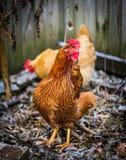 周道的鸡 库存照片