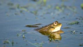呱呱地叫和联接在池塘的绿色沼泽青蛙 Pelophylax ridibundus 股票录像