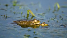 呱呱地叫和联接在池塘的绿色沼泽青蛙 Pelophylax ridibundus 影视素材