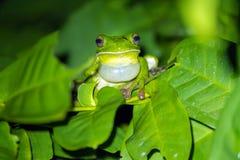 呱呱地叫在叶子的热带池蛙 免版税图库摄影