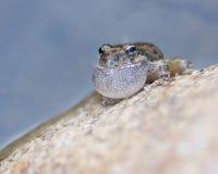 呱呱地叫在岩石的青蛙 库存照片