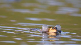呱呱地叫在水中的绿色沼泽青蛙 Pelophylax ridibundus 股票视频