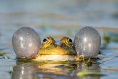 呱呱地叫在水中的绿色沼泽青蛙 Pelophylax ridibundus 免版税库存图片