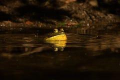 呱呱地叫在池塘的牛蛙 免版税图库摄影