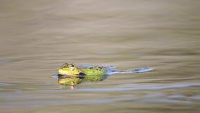 呱呱地叫在池塘的绿色沼泽青蛙 Pelophylax ridibundus 影视素材