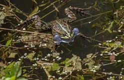 呱呱地叫在池塘的青蛙 库存照片
