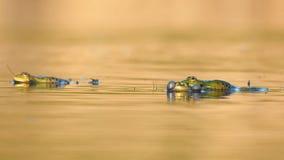 呱呱地叫在美好的光的绿色沼泽青蛙 Pelophylax ridibundus 股票视频