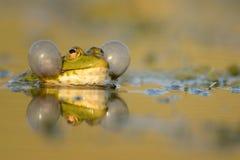 呱呱地叫在美好的光的绿色沼泽青蛙Pelophylax ridibundus 免版税库存照片