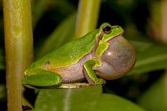 呱呱地叫的欧洲雨蛙 图库摄影