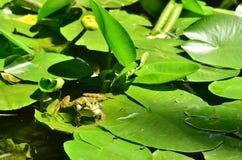呱呱地叫的池蛙,绿色池塘 免版税图库摄影