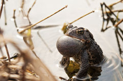呱呱地叫的牛蛙在池塘 免版税库存图片
