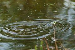 呱呱地叫的青蛙在一个小池塘 免版税库存图片