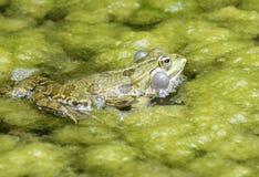呱呱地叫的青蛙 免版税图库摄影
