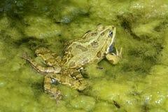 呱呱地叫的青蛙 库存图片