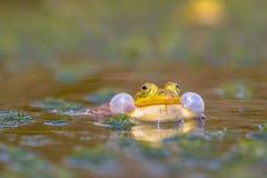 呱呱地叫的水池青蛙 免版税图库摄影