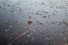 呱呱地叫水的表面上的青蛙 免版税库存图片