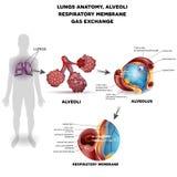 呼吸作用器官海报 库存照片