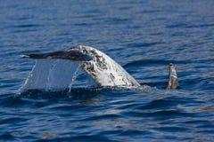 呼吸粗沉的急性子Griseus (Risso的海豚) 库存图片