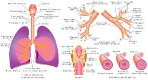 呼吸系统 免版税库存照片