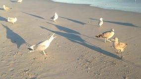 呼喊的海鸥要求人食物和保护她的疆土 股票录像