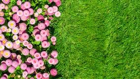 延命菊和草坪 免版税库存照片
