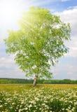 延命菊的领域与桦树的 免版税库存照片