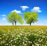 延命菊的领域与落叶树的 免版税库存图片