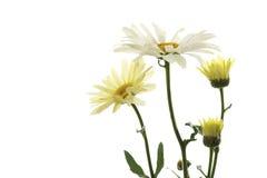 延命菊(Leucanthemum最大值) 免版税图库摄影