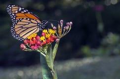 命令鳞翅类的蝴蝶 库存图片