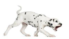 咆哮一只达尔马希亚的小狗的侧视图走和,被隔绝 图库摄影