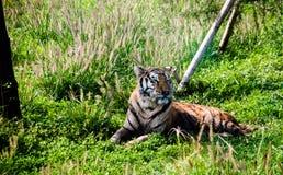 咆哮东北虎豹属底格里斯河altaica的画象 库存照片