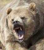 咆哮北美灰熊 库存图片