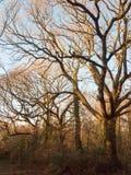 咆哮吠声分支在机盖之外的自然风景林木线  图库摄影