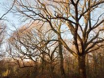 咆哮吠声分支在机盖之外的自然风景林木线  免版税库存照片