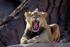 咆哮在岩石的非洲狮子 免版税库存照片