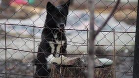 咆哮在篱芭后的狗 影视素材